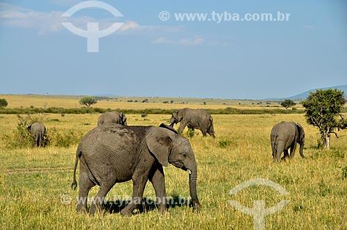 Elefantes na Reserva Nacional Masai Mara  - Narok - Província do Vale do Rift - Quênia