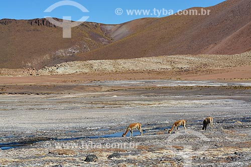Guanacos (Lama guanicoe) bebendo água no deserto do Atacama  - San Pedro de Atacama - Província de El Loa - Chile