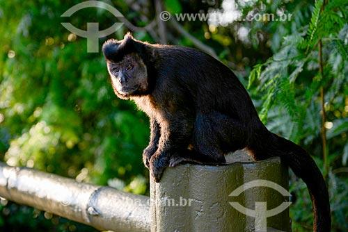 Detalhe de macaco-prego (Sapajus nigritus) próximo à Vista Chinesa no Parque Nacional da Tijuca  - Rio de Janeiro - Rio de Janeiro (RJ) - Brasil