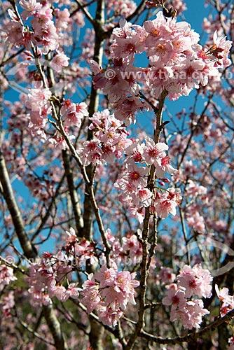 Detalhe de cerejeira do Japão (Prunus serrulata) florida  - Resende - Rio de Janeiro (RJ) - Brasil