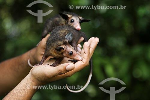 Detalhe do Gambá-comum (Didelphis marsupialis)  - Manaus - Amazonas (AM) - Brasil
