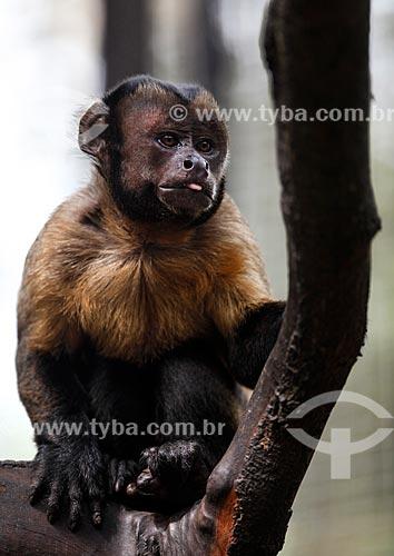 Macaco-prego (Sapajus nigritus) no Parque Municipal do Mindu  - Manaus - Amazonas (AM) - Brasil