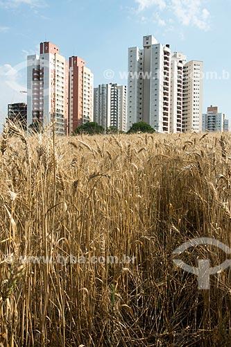 Plantação de trigo em área urbana  - Londrina - Paraná (PR) - Brasil