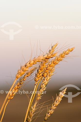 Detalhe de plantação de trigo  - Nova Fátima - Paraná (PR) - Brasil