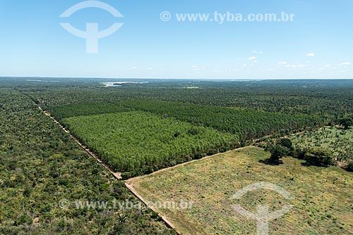 Foto aérea de plantação de eucalipto e pinheiros em área de Mata dos Cocais  - Teresina - Piauí (PI) - Brasil