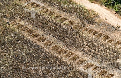 Foto aérea de cana-de-açúcar enleirada durante a colheita - próximo à área de Mata dos Cocais  - Teresina - Piauí (PI) - Brasil