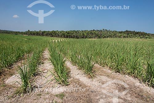 Plantação de cana-de-açúcar em área de Mata dos Cocais  - Teresina - Piauí (PI) - Brasil