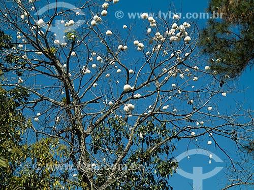 Detalhe de algodoeiro (Gossypium)  - Resende - Rio de Janeiro (RJ) - Brasil