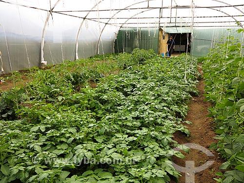 Plantação de batata - agricultura familiar  - Concelho de Águeda - Distrito de Aveiro - Portugal