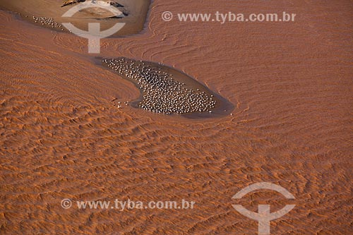 Foto aérea de bando de andorinhas-do-mar (Sterna hirundo) na foz do Rio Doce com lama dos rejeitos do rompimento de barragem da Mineradora Samarco  - Linhares - Espírito Santo (ES) - Brasil
