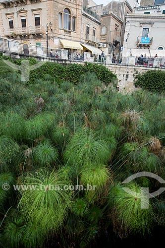 Detalhe de papiros (Cyperus papyrus) crescendo espontaneamente na Fonte de Aretusa  - Siracusa - Província de Siracusa - Itália