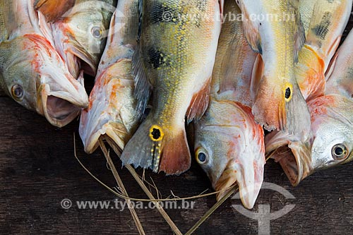 Detalhe do Tucunaré (Cichla ocellaris)  - Manaus - Amazonas (AM) - Brasil