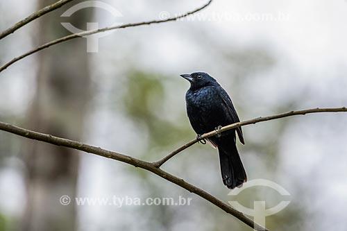 Detalhe de Graúna (Gnorimopsar chopi) - também conhecido como chico-preto, chopim, chupão, assum-preto ou pássaro-preto - na Área de Proteção Ambiental da Serrinha do Alambari  - Resende - Rio de Janeiro (RJ) - Brasil