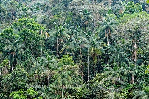Içaras (Euterpe edulis Martius) - também conhecida como juçara, jiçara ou palmito-juçara - na Área de Proteção Ambiental da Serrinha do Alambari  - Resende - Rio de Janeiro (RJ) - Brasil