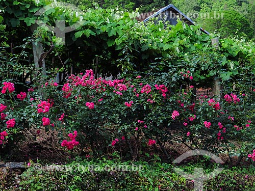 Detalhe de roseira próximo à videira  - Gramado - Rio Grande do Sul (RS) - Brasil