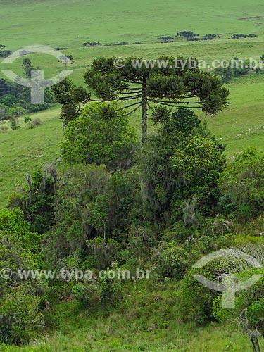Araucária (Araucaria angustifolia) no Distrito de Lageado Grande  - São Francisco de Paula - Rio Grande do Sul (RS) - Brasil