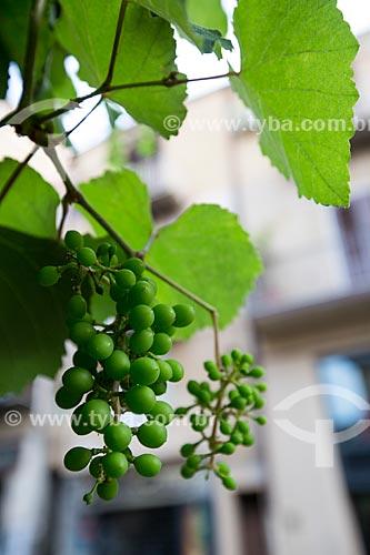 Uva ainda na videira no centro urbano de Cefalù  - Cefalù - Província de Palermo - Itália