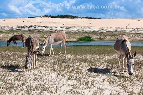Burros nas dunas da Praia de Canoa Quebrada  - Aracati - Ceará (CE) - Brasil