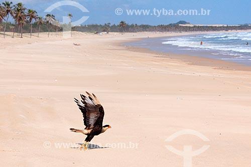 Carcará (Polyborus plancus) na Praia de Cumbuco  - Caucaia - Ceará (CE) - Brasil