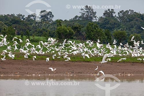 Garças-branca-grande (Ardea alba) às margens do Rio Amazonas  - Manaus - Amazonas (AM) - Brasil