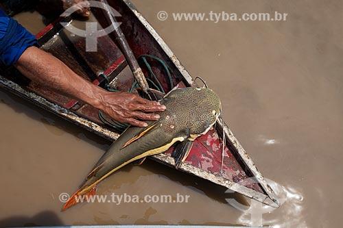 Detalhe de pirarara (Phractocephalus hemioliopterus) pescada no Rio Amazonas  - Manaus - Amazonas (AM) - Brasil
