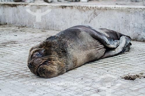 Lobo-marinho-sul-americano (Arctocephalus australis) na região da cidade de Iquique  - Iquique - Província de Iquique - Chile