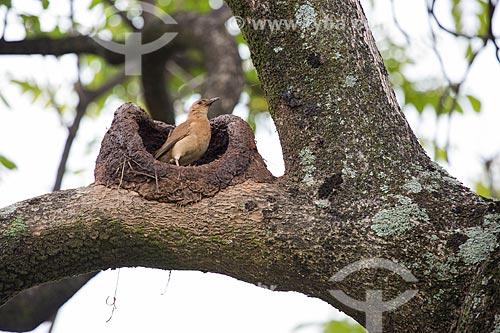 João-de-barro (Furnarius rufus) - também conhecido como Forneiro - construindo um ninho na Praça Bagatelle  - Belo Horizonte - Minas Gerais (MG) - Brasil