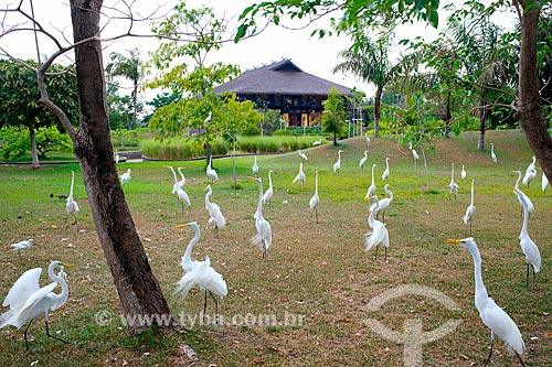 Garças-branca-grande (Ardea alba) no Parque Ambiental Mangal das Garças  - Belém - Pará (PA) - Brasil
