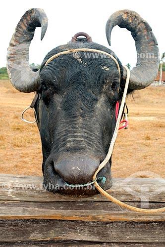 Curral com bufalo na Fazenda do Carmo  - Salvaterra - Pará (PA) - Brasil