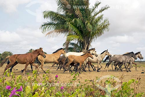 Cavalos na Fazenda Sanjo  - Salvaterra - Pará (PA) - Brasil