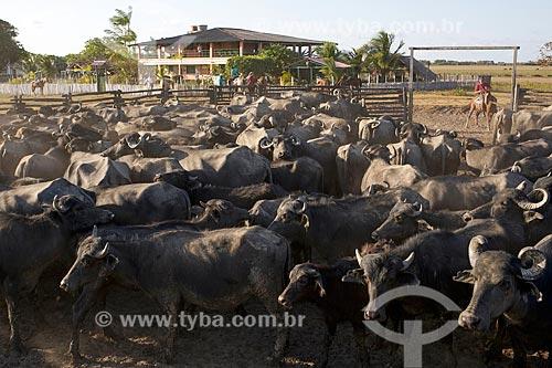 Criação de búfalos na Fazenda Sanjo  - Salvaterra - Pará (PA) - Brasil