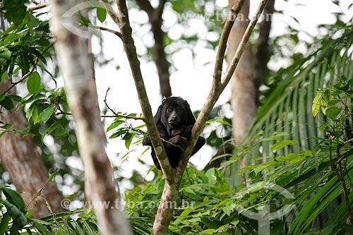 Bugio (Alouatta caraya) - também conhecido como bugio-do-pantanal ou guariba - na Ilha de Marajó  - Pará (PA) - Brasil