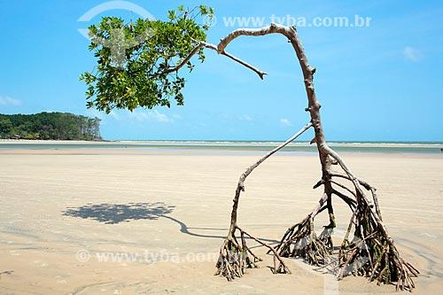 Árvore na orla da Praia de Barra Velha  - Soure - Pará (PA) - Brasil