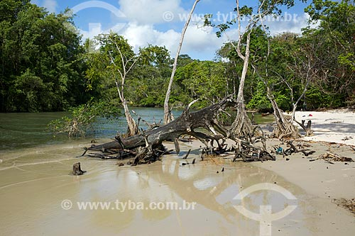 Árvore na Praia de Água Boa - Ilha de Marajó  - Salvaterra - Pará (PA) - Brasil