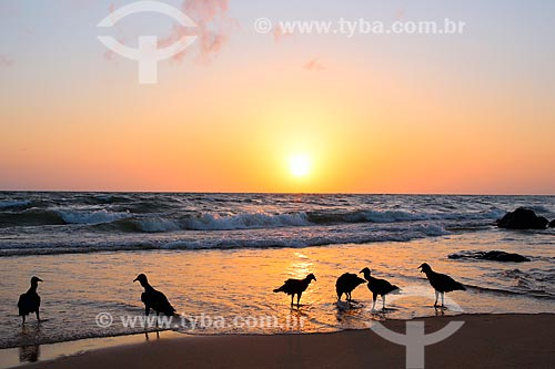 Pássaros na Praia de Joanes durante o amanhecer  - Salvaterra - Pará (PA) - Brasil