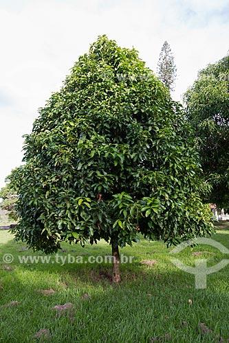 Jambeiro (Syzygium jambos) na Fazenda São Geraldo  - Paraíba do Sul - Rio de Janeiro (RJ) - Brasil