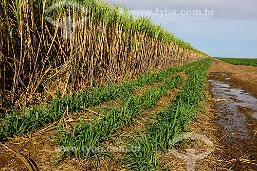 Plantação de cana-de-açúcar  - Mato Grosso do Sul (MS) - Brasil