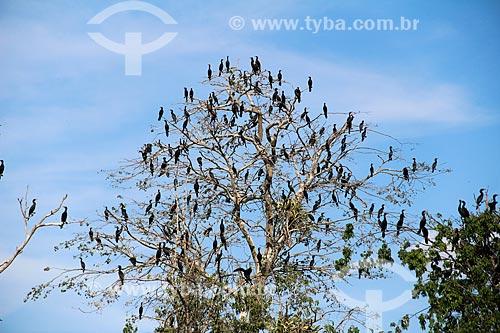 Bando de biguás (Phalacrocorax brasilianus) - também conhecido como biguaúna, imbiuá, miuá ou corvo-marinho - no Lago Cuniã  - Porto Velho - Rondônia (RO) - Brasil