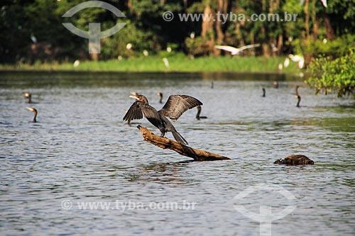 Biguá (Phalacrocorax brasilianus) - também conhecido como biguaúna, imbiuá, miuá ou corvo-marinho - no Lago Cuniã  - Porto Velho - Rondônia (RO) - Brasil