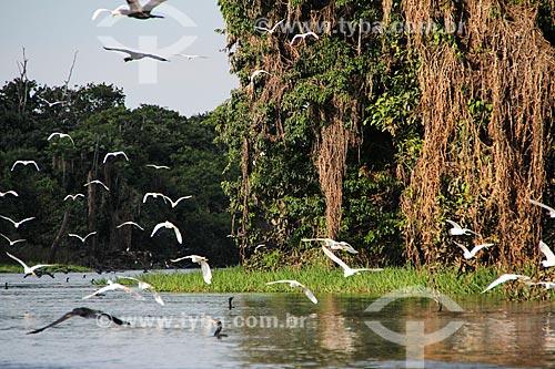 Garças-branca-pequena (Egretta thula) e Biguá (Phalacrocorax brasilianus) - no Lago Cuniã  - Porto Velho - Rondônia (RO) - Brasil