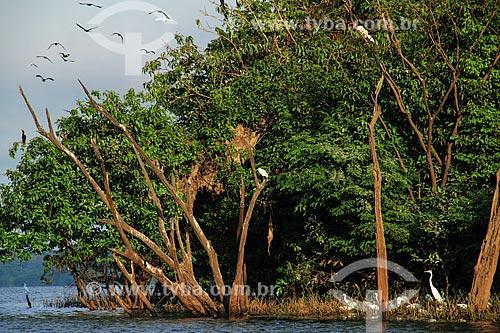 Garças-branca-pequena (Egretta thula) - também conhecida como garça-pequena ou garcinha - no Lago Cuniã  - Porto Velho - Rondônia (RO) - Brasil