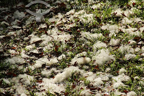Chão coberto pelo algodão do fruto da sumaúma (Ceiba pentandra) próximo ao Lago Cuniã  - Porto Velho - Rondônia (RO) - Brasil