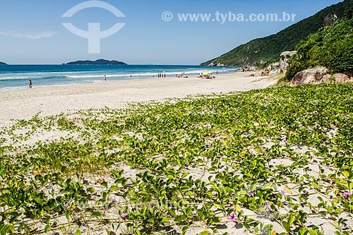 Vegetação de restinga conhecida como Pé de Cabra ou Batata da Praia (Ipomoea Pes-caprae) - Praia dos Açores  - Florianópolis - Santa Catarina (SC) - Brasil