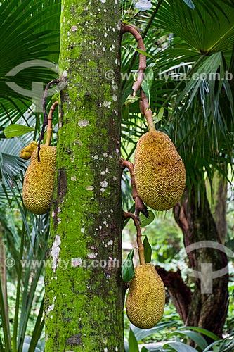 Detalhe de jaca ainda na jaqueira (Artocarpus heterophyllus) no Parque Henrique Lage - mais conhecido como Parque Lage  - Rio de Janeiro - Rio de Janeiro (RJ) - Brasil