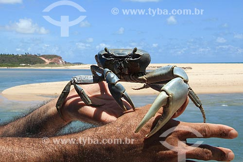 Guaiamu (Cardisoma guanhumi) na praia da Barra do Gramame  - Conde - Paraíba (PB) - Brasil