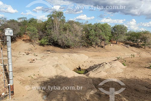 Gado na nascente do Riacho do Navio - afluente do Rio Pajeu - quase seco  - Floresta - Pernambuco (PE) - Brasil