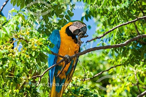 Arara-Canindé (Ara ararauna) - também conhecida como Arara-de-barriga-amarela - no Parque Nacional da Chapada dos Veadeiros  - Alto Paraíso de Goiás - Goiás (GO) - Brasil