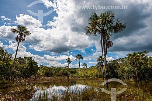 Buritis (Mauritia flexuosa) no Vale da lua  - Alto Paraíso de Goiás - Goiás (GO) - Brasil
