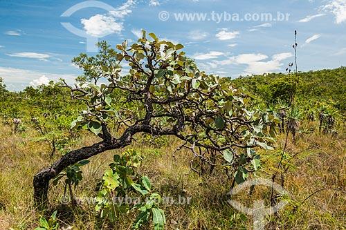 Paisagem durante a trilha para o Mirante da Janela no Parque Nacional da Chapada dos Veadeiros  - Alto Paraíso de Goiás - Goiás (GO) - Brasil