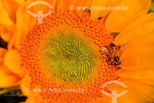 Detalhe de abelha  girassol (Helianthus annuus)  - Rio de Janeiro - Rio de Janeiro (RJ) - Brasil